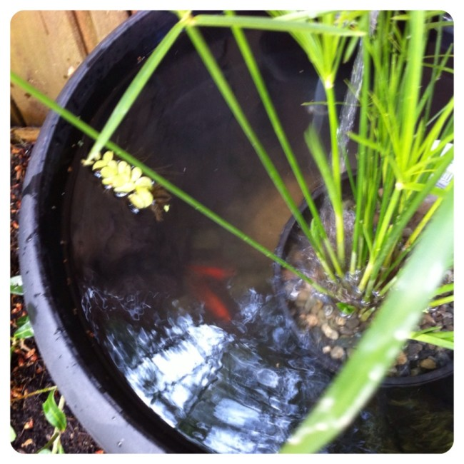 pond in a pot www.nestinthewest.com